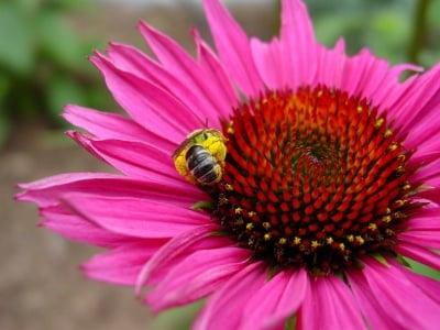 Ехинацея - красотата, която лекува