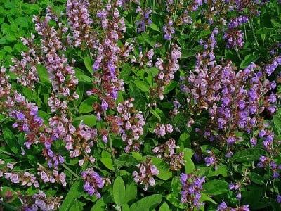 Градински чай (Salvia Officinalis)
