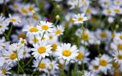 Лайката - малкото цветче с много ползи за здравето