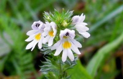 Очанка (Euphrasia)