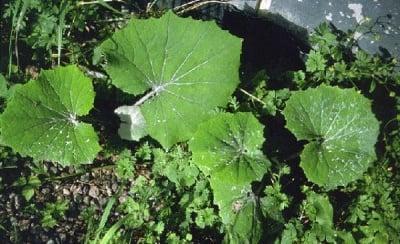 Подбел (Tussilago farfara L.)