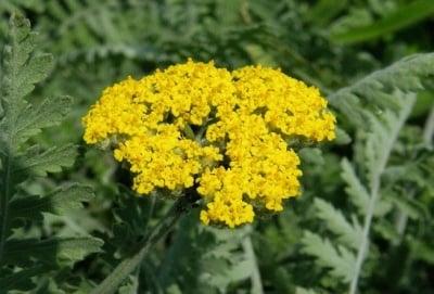 Жълт Равнец (Achillea Clypeolata L)