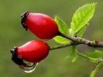 26 билки, използвани за лечение от индианците (2 част)