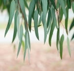 Евкалипт (Eucaliptus)