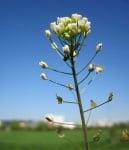 Овчарска торбичка (Capsella Bursa Pastoris)