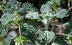 Пчелник (Marrubium vulgare)