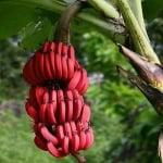 Червеният банан - екзотичен и полезен