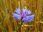 Синя метличина (Centaurea Cyanus)