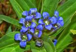 Синя тинтява (Gentiana Cruciata L.)