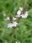 Върбинка  (Verbena officinalis)