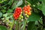 Змийски лапад (Arum Maculatum)